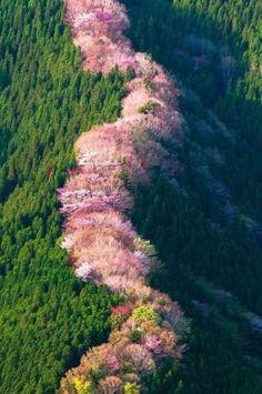 Дикие вишни в Наре. Япония.