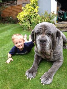 neapolitan mastiff dog breed information pictures characteristics facts kuty k pinterest. Black Bedroom Furniture Sets. Home Design Ideas