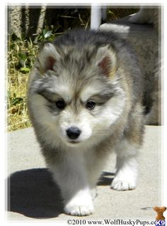 Cool Alaskan Malamute Chubby Adorable Dog - e54bcf2e94590937361c50d38151eef1--malamute-dog-alaskan-malamute  Snapshot_595755  .jpg