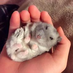 16 Hamsters Livin' The Freaking Dream Cute Funny Animals, Cute Baby Animals, Animals And Pets, Small Animals, Hamster Care, Baby Hamster, Funny Hamsters, Baby Puppies, Cute Creatures
