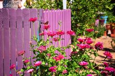 Zinnias against a pink fence in Tucson, Arizona