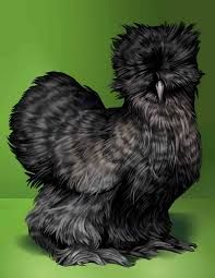 LOVE the Silkies.  They're gorgeous!!
