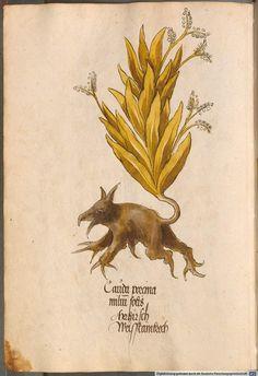 'Arzneipflanzenbuch' (Medicinal herb book). 1520s.