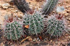 Melocactus iacuensis