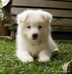 Samoyed puppy! Super cute and a great large breed dog for those of us