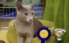 Klasy wystawowe na wystawach kotów rasowych