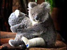 Baby koala Georgia broke her leg when mum fell out of a tree, but is mending well at the Healesville Sanctuary. Sadly, mum didn't make it, but Georgia has a stuffed surrogate. Cute Funny Animals, Cute Baby Animals, Animals And Pets, Australia Funny, Australia Animals, Baby Panda Bears, Polar Bears, The Wombats, Tier Fotos