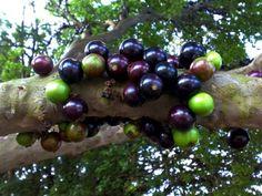 Jaboticaba tree