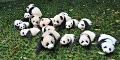 The Best Job in The World Involves Hugging Baby Pandas