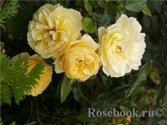 'Golden Touch' Rose