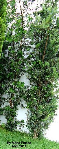 Meu cantinho verde: PODOCARPO - ( Podocarpus macrophyllus)