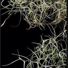 Spanish moss - scan