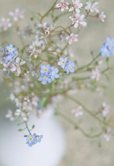 .forget me not.