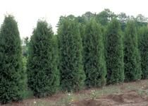 THUJA occidentalis Eastern Arborvitae (White Cedar) PatriotTM ('Klmeighteen') | Uniform upright growing plants with good green winter coloration. Selected for color and tight uniform growth habit. Similar to 'Emerald' but faster growing and ultimately larger and more columnar. | ht 15-25' x wd 3-5' | Beaver Creek Nursery