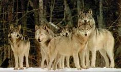 EXTREME LOVE WOLF SPELL,7 WOLF SPIRITS,7 NIGHTS 7 TIMES CONJURES Angel7Spa - professional Psychic with more than 27 years of experience helping people all over the world.  Experiences in Radio , Tv and in Newspapers.