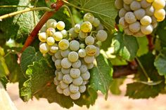 Albariño, Vista Luna Vineyards, Bokisch Ranches, Lodi AVA. Photography by Randy Caparoso.