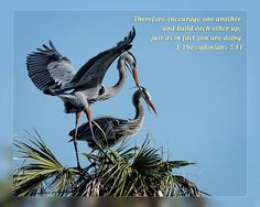 From Daily Scripture Project by artist Dawn Currie:   Therefore encourage one another and build each other up, just as in fact you are doing. 1 Thessalonians 5:11   Photograph of a Great Blue Heron pair building their next atop a palm tree at the Ritch Grissom Memorial Wetlands in Viera Florida.  Custom framed prints, canvases, and cards available. #inspiration #Christian #DailyScripture