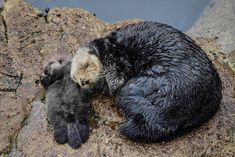 Photographer Captures Adorable Footage of 1-Day-Old Otter Pup Asleep on Floating Mom's Belly - My Modern Met