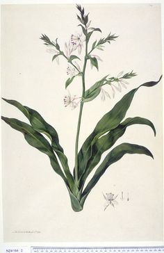 Arthropodium Cirratum - Country: New Zealand  -  [G. Forster] R. Brown ex Sims, Curtis's bot. Mag. 49: t. 2350 [1822].  The Endeavour botanical illustrations