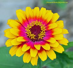 Zowie Yellow Flame Zinnias will unleash an explosion of beauty in your garden. They also attract beautiful butterflies and beneficial bees.