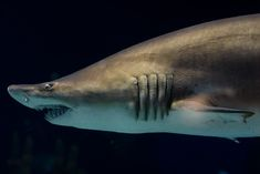 sharks images with names | Different countries have different names for this shark.