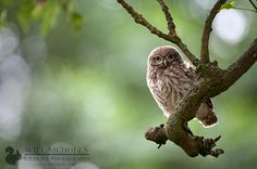 Immature Little Owl   Flickr - Photo Sharing!