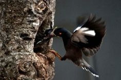 A common myna feeds her baby in a nest on a hot afternoon in Bhubaneswar, India. The common myna is native to Asia, and it is an important motif in Indian culture /cnn Surabaya, Cute Baby Animals, Animals And Pets, Hawk Feathers, Bird Gif, Kinds Of Birds, Photos Of The Week, Bird Watching, Amazing Nature