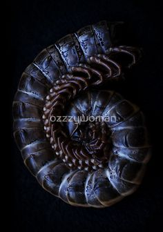 millipede macro by ozzzywoman