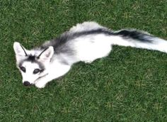 This is what an Arctic Marble Fox looks like