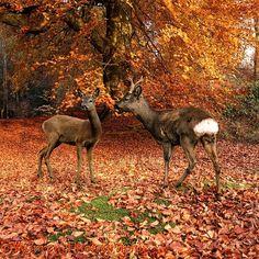 Roe Deer pair in Beech Woodland