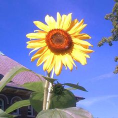 Pictures of Yellow Flowers: Picture of Sunflower