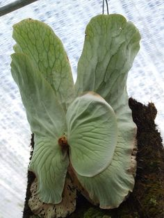 "Platycerium elephentotis cv ""Amarina"" Ferns Garden, Bonsai Garden, Planting Succulents, Garden Art, Big Leaf Plants, Fern Plant, Exotic Plants, Tropical Plants, Platycerium"