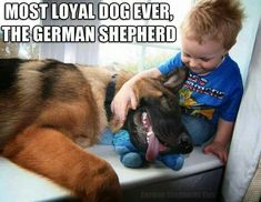 The German Shepherd #germanshepherd
