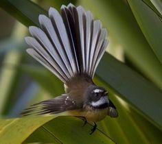 The Fantail or Piwakawaka- friendly little fellows will accompany anyone strolling through the countryside. #birds