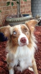 Willie Nelson is an adoptable Australian Shepherd Dog in Dallas, TX. ****ADOPTION FEE $350 - PLEASE APPLY FIRST AT WWW. DASHDOG.ORG**** Willie Nelson is a male mini-standard Aussie who is 35 lbs and c...