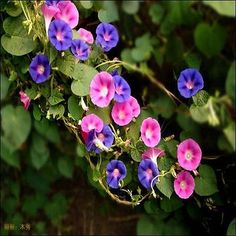 Dwarf Morning Glory Ensign Mix (Convolvulus Tricolor Minor Ensign Mix) - Grow this mounding variety from Dwarf Morning Glory seeds for colorful, hardy, compact bedding plants. In addition to the flowe