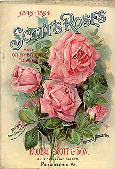 scott rose, pink roses, art, fashion beauty, seed packet, vintage roses, vintage ads, designer bags, flower
