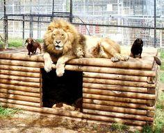 500 фунтовый лев и собака были неразлучны в течение последних 5 лет в парке животных в Оклахоме