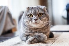 Scottish folds: These cute owl-like felines are known for their folded lop ears, which are the result of a mutation that affects cartilage and bone development.