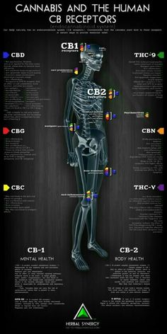 Cannabis and the Human CB Receptors. This is why Cannabis helps so many different medical conditions. Cannabis and the Human CB Receptors. Marijuana Facts, Cannabis News, Medical Cannabis, Cannabis Oil, Cannabis Vape Pen, Marijuana Recipes, Thc Oil, Ganja, Endocannabinoid System