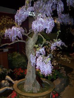Chinese wisteria trained into bonsai form at 2010 GardenScape flower and garden show in Rochester, NY. From a post on wisteria for Linnaeus Day on Tesselaar Plants' Your Easy Garden blog.