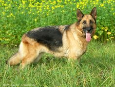 German shepherd dog puppies for sale and dogs for adoption.