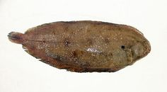 SOGLIOLA. Solea vulgaris
