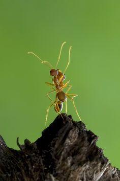 Dancing - Dancing ant