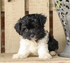 Havanese Puppies For Sale, Mother And Father, Pets, Animals And Pets