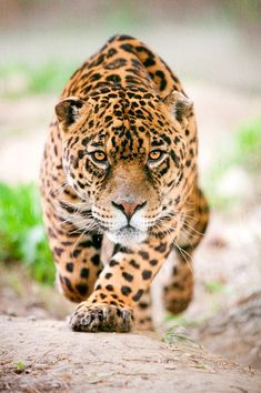 Jaguar en movimiento (Panthera onca)