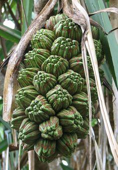 Pandanus tectorius fruit showing phalanges.