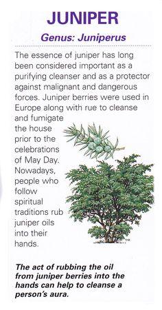 Sacred celtic tree - Juniper