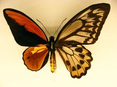 Chimera butterfly... DNA is half male (left side) and half female (right side).