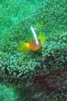 anemone fish by hanz.schulz, via Flickr
